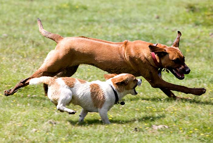 How Risky Is It For Large & Small Dogs To Play Together? (Video)