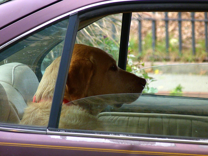 Dog in car with open window