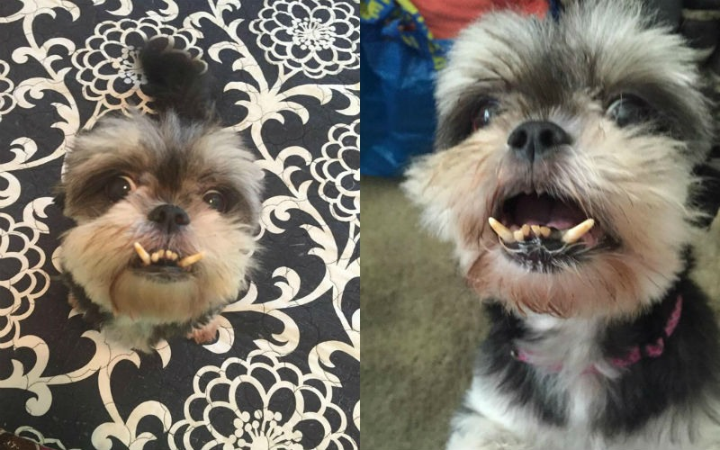 Former Puppy Mill Mama Abandoned At Shelter Just Wants A Human To Cuddle Forever