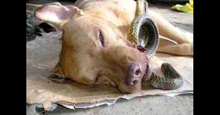 A Dog Risks His Life While Saving A Family From A Poisonous Cobra