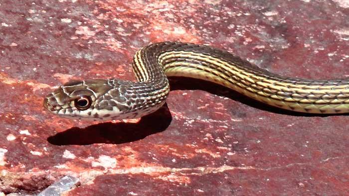 Snake - Doberman drags little girl