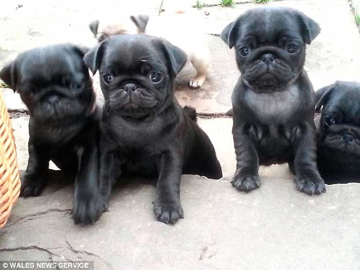 Outrage! 2 Dognappers Beat Up A Mom In Her Own Home To Steal Her 3 Prized Pug Puppies