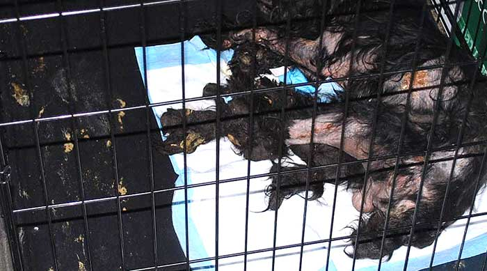 Worst Ever – 310 Dogs Rescued From An Alleged Puppy Mill – Couple In Custody (Video)