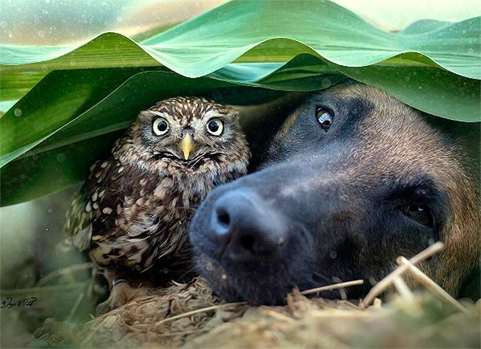 A Belgium Shepherd & A Tiny Rescued Owl Over Heels In Love